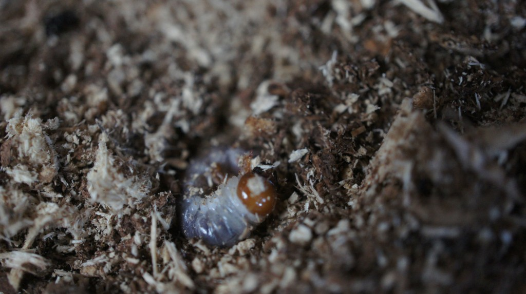 オオクワガタ幼虫