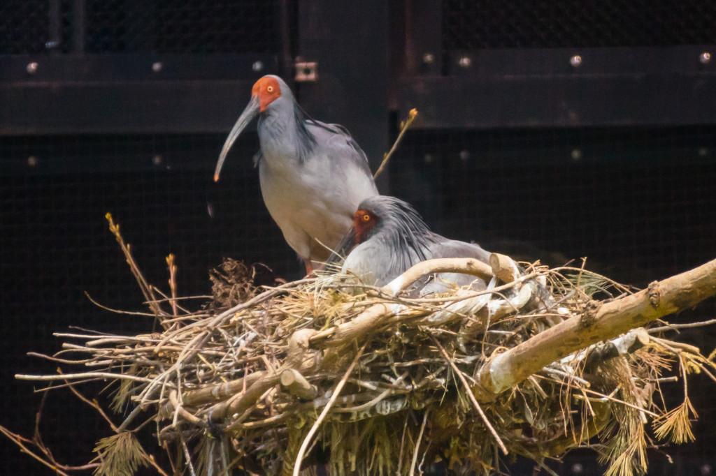 トキふれあいプラザのペア朱鷺