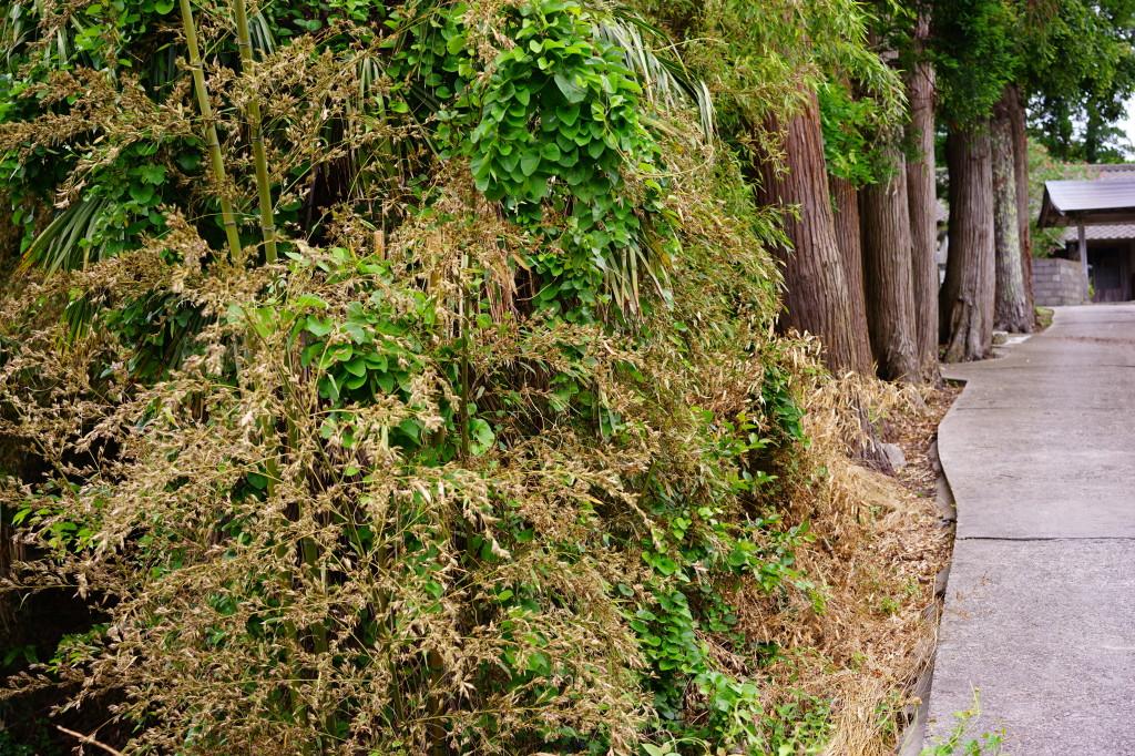 竹の花で枯れる竹林