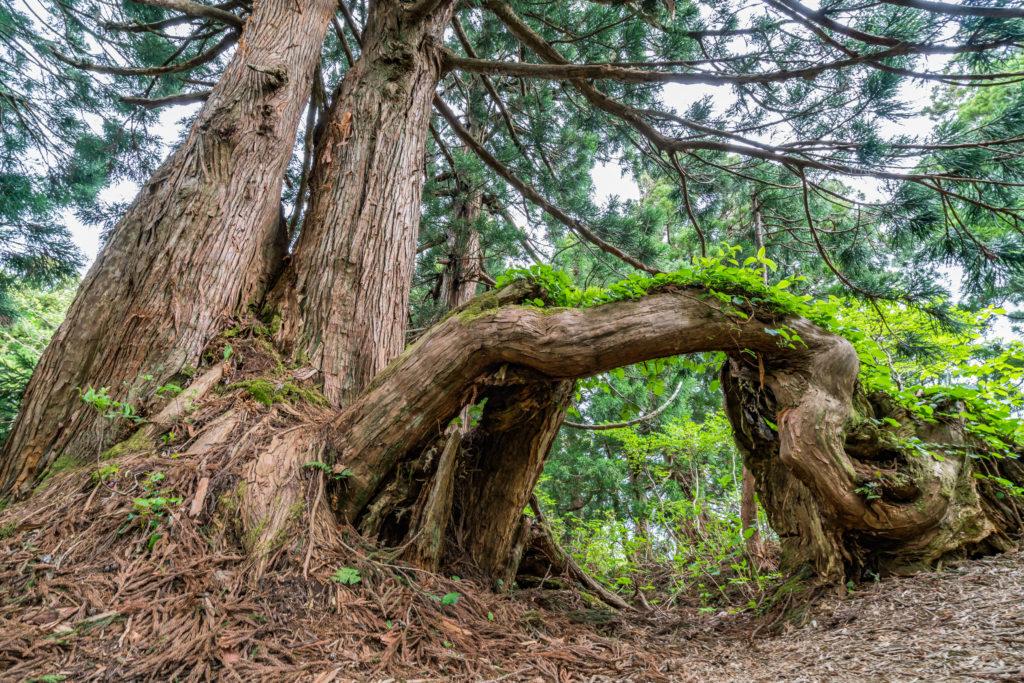 佐渡 石名天然杉