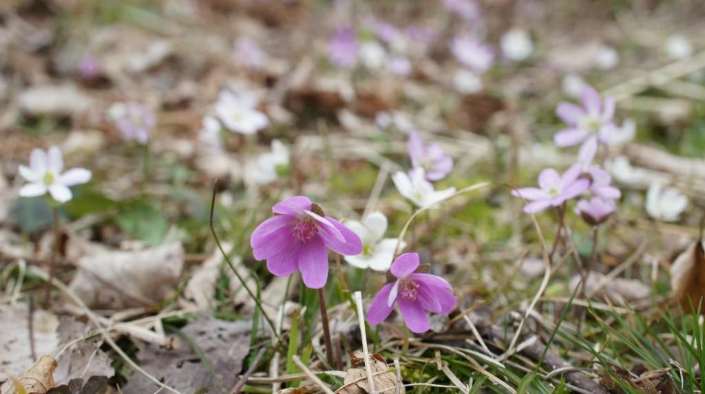 雪割草のお花畑