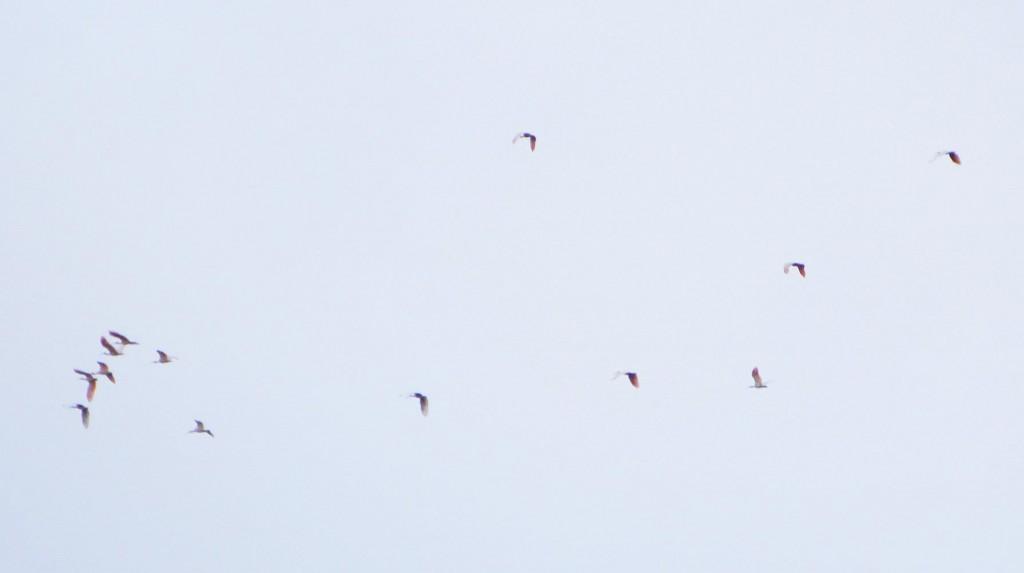 朱鷺の群れ