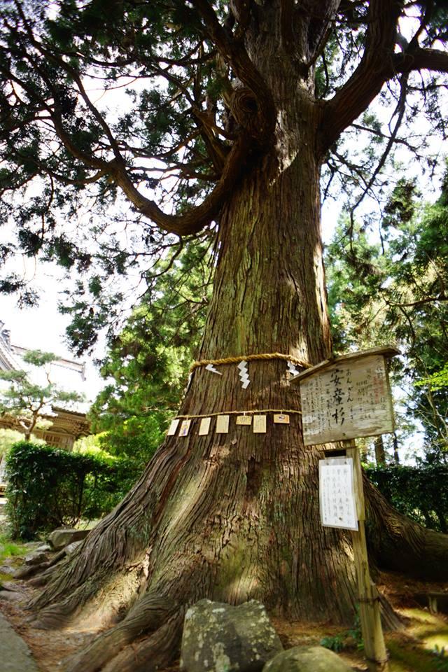 牛尾神社 安産杉