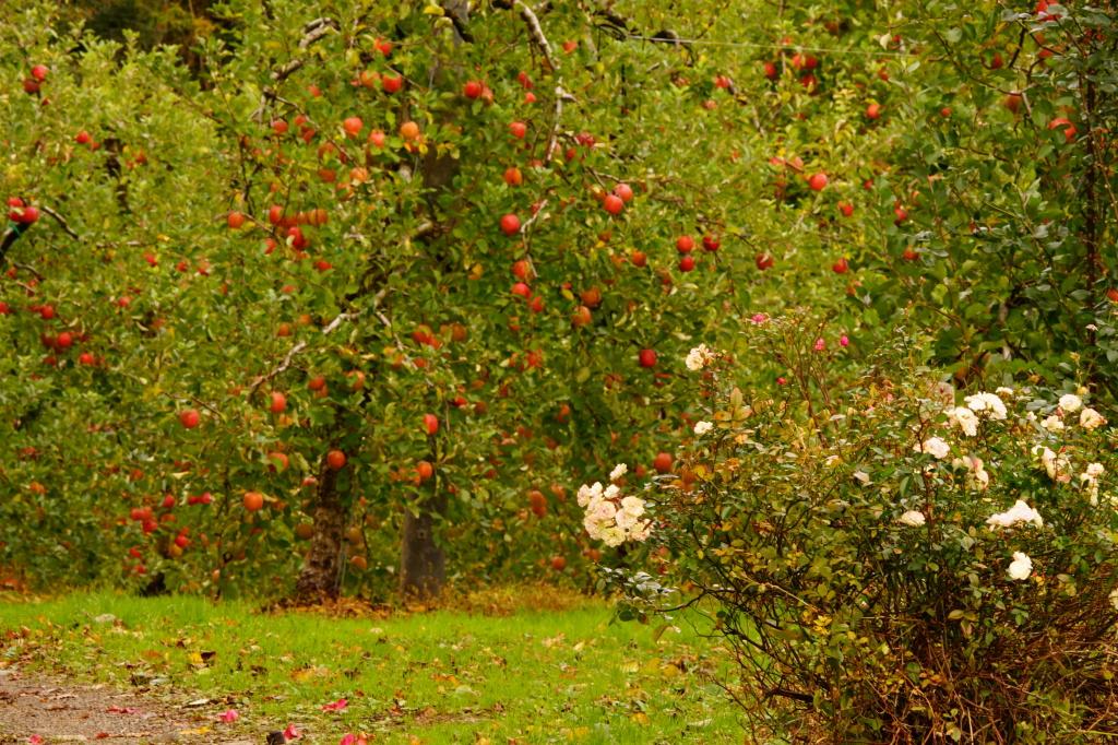 さかや農園のバラとリンゴ