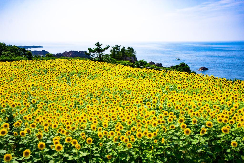 尖閣湾のひまわり畑