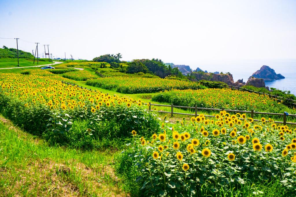小川のひまわり畑