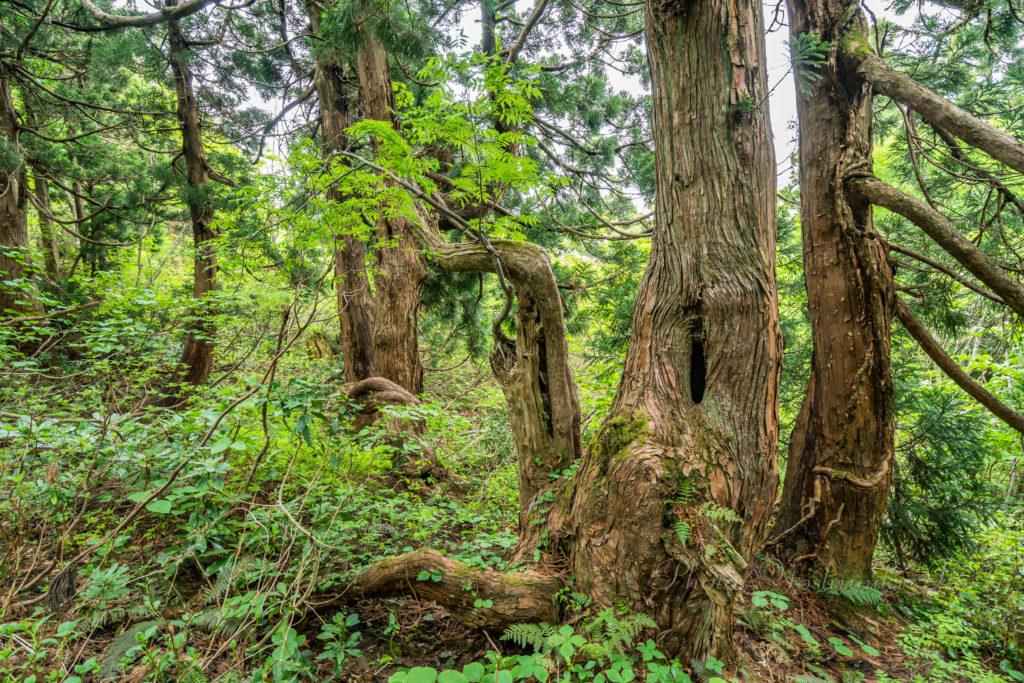 繋がった杉