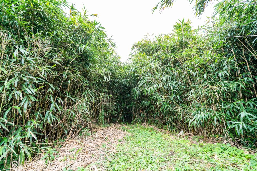 虫谷の竹藪