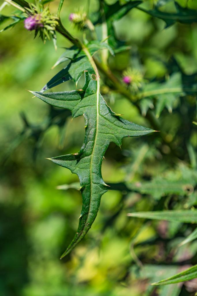 サドアザミの葉っぱ
