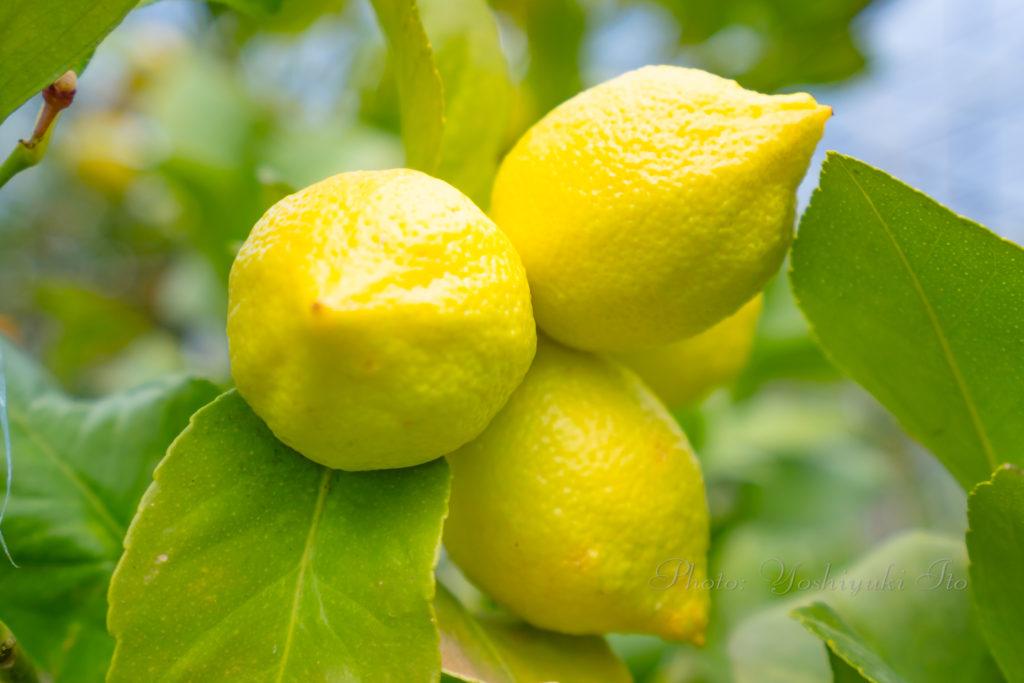 佐渡産レモン