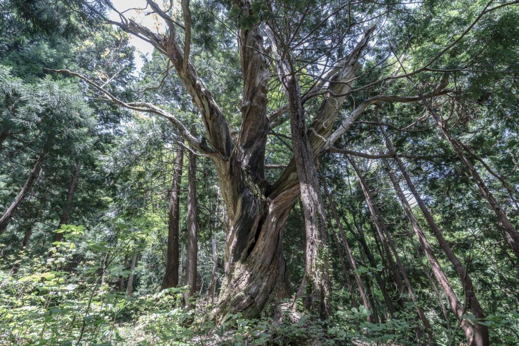 栗の木の巨木