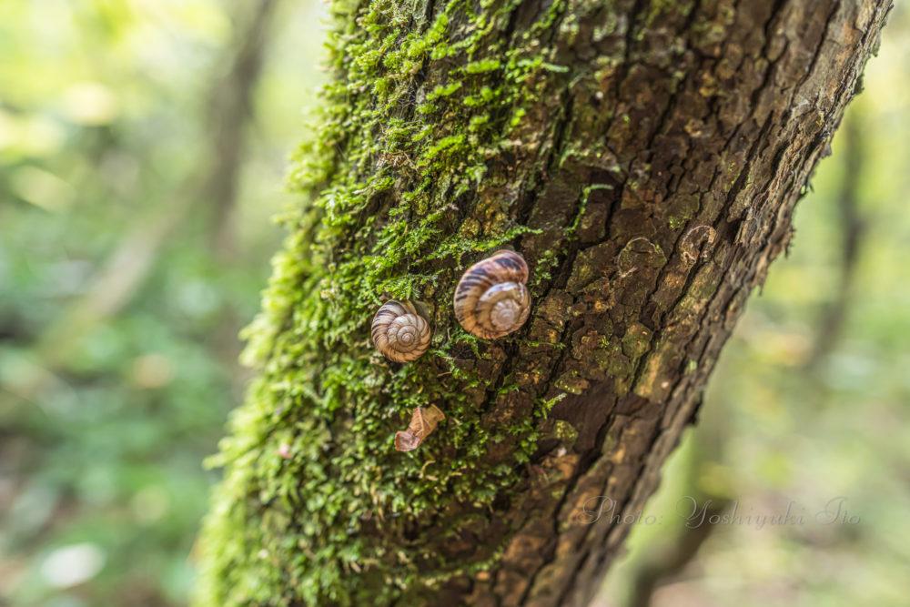 木登りカタツムリ
