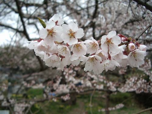 ご縁の宿 伊藤屋~佐渡の山野草【『法乗坊の種蒔き桜』:江戸彼岸 ...