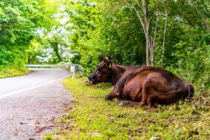 ドンデン山の放牧牛