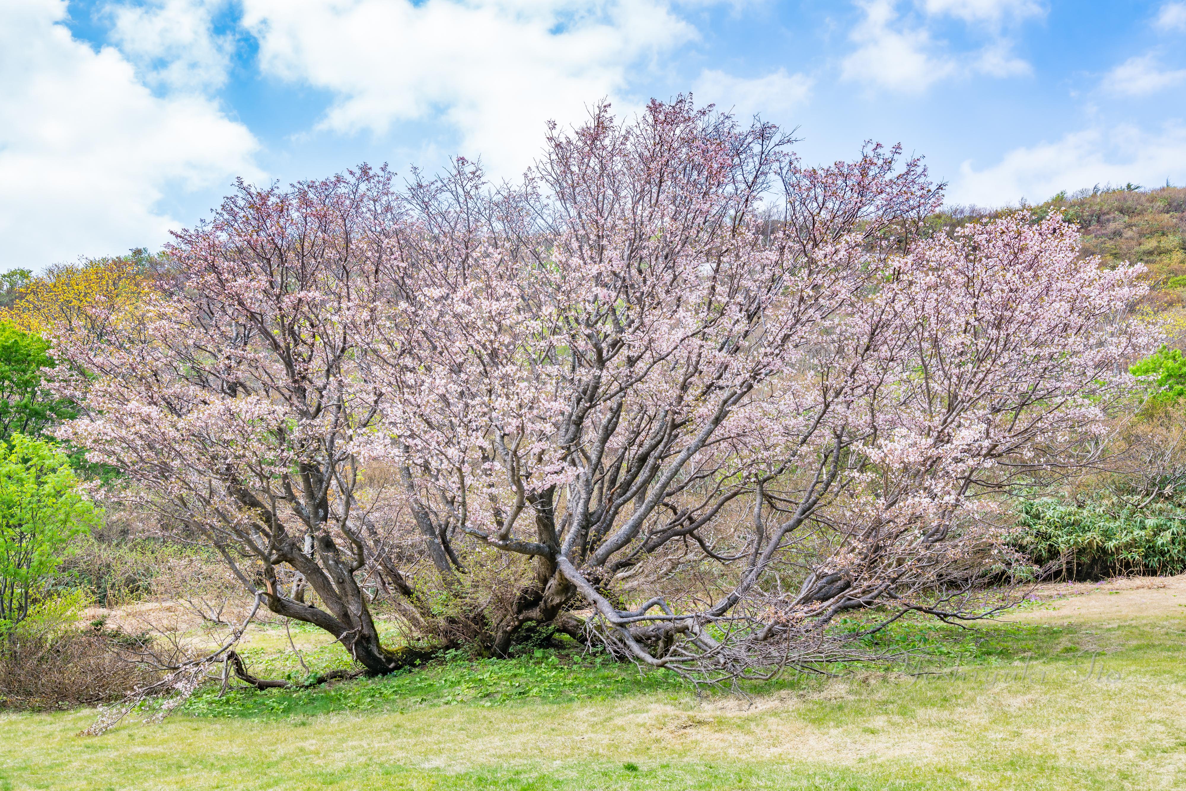 妙見山の千竜桜