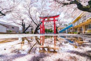 雨上がりの桜と鳥居