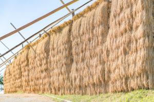 小木の稲架掛け米