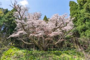北小浦の与六郎桜